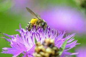 Die Fotos zeigen eine Hosenbiene auf der Blüte einer Flockenblume und stammen von Jürgen Eickmann. Quelle: Dr. Martin Bollmeier, Förderverein Naturschutzgebiet Riddagshausen e. V.